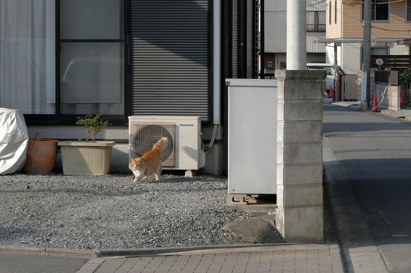 室外機から降りた毛長の茶白猫1