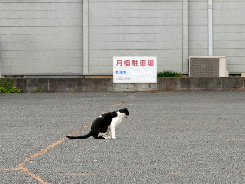 駐車場を歩いてる黒白猫1