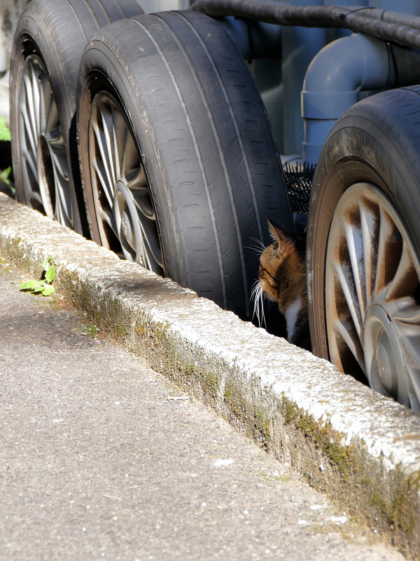 タイヤとキジトラ猫1