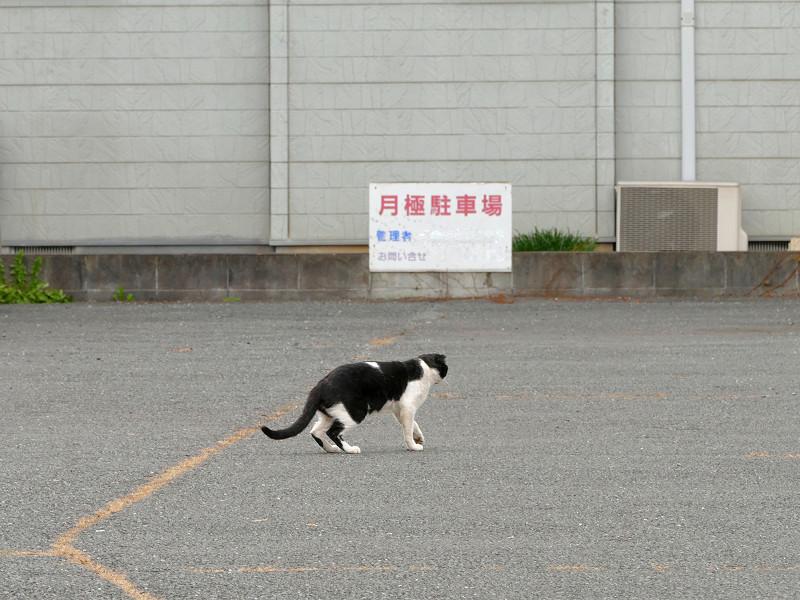 駐車場を歩いてる黒白猫2