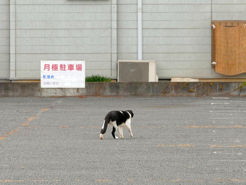 駐車場を歩いてる黒白猫3