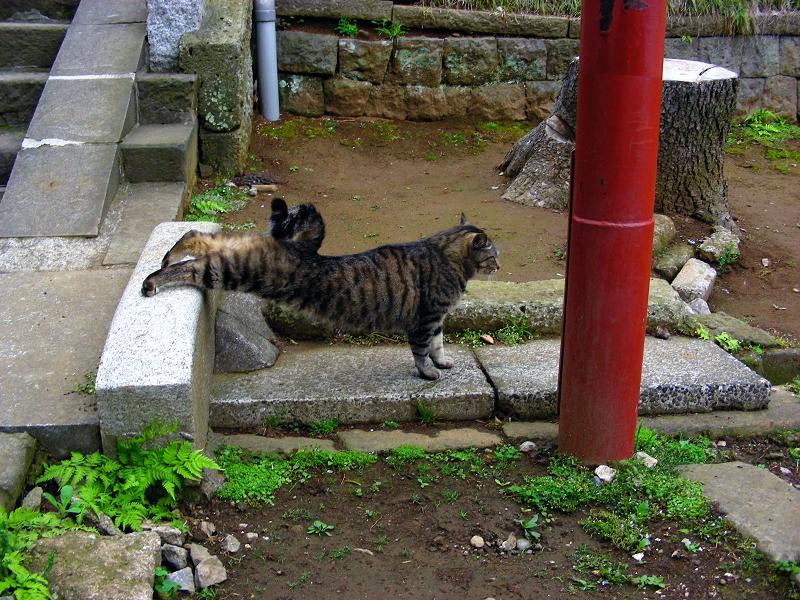 伸びをしたキジトラ猫1