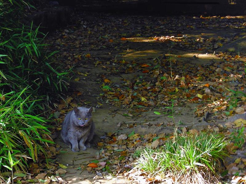 茂みから出て来たベロ出しグレー猫1