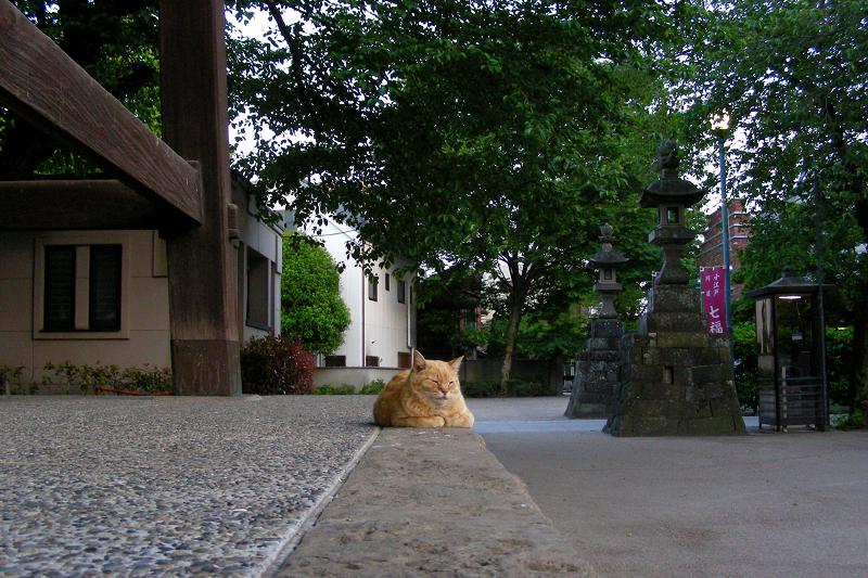 鐘つき堂の茶トラ猫1
