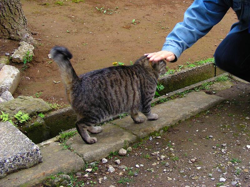 伸びをしたキジトラ猫2