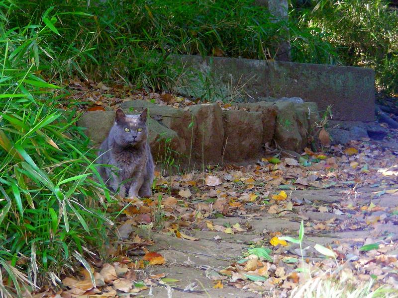 茂みから出て来たベロ出しグレー猫2