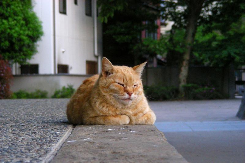 鐘つき堂の茶トラ猫2