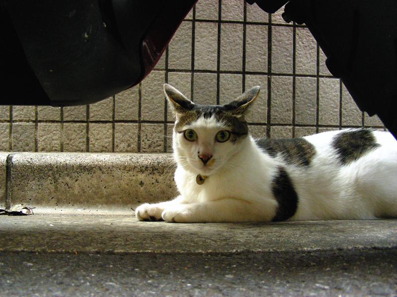 スクーターと白キジ猫2