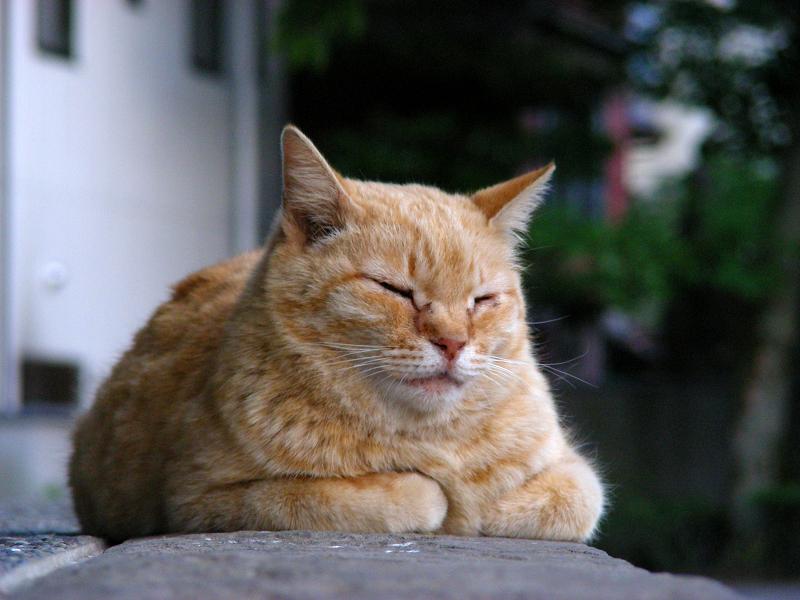 鐘つき堂の茶トラ猫3