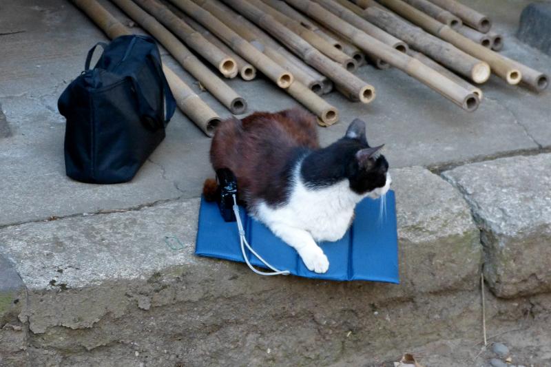 シートで横になる黒白猫1