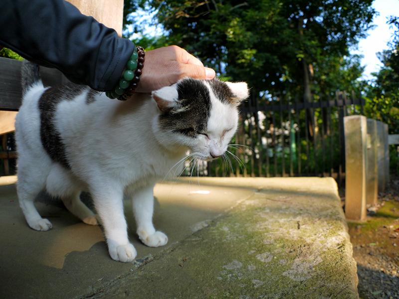 頭から腰まで触られる白キジ猫1