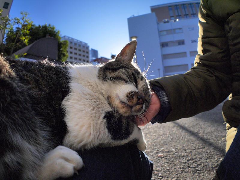 逆光で触られるキジ白猫1