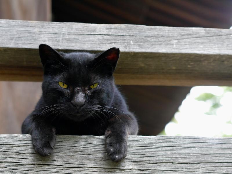 欄干の間から上半身を出す黒猫2