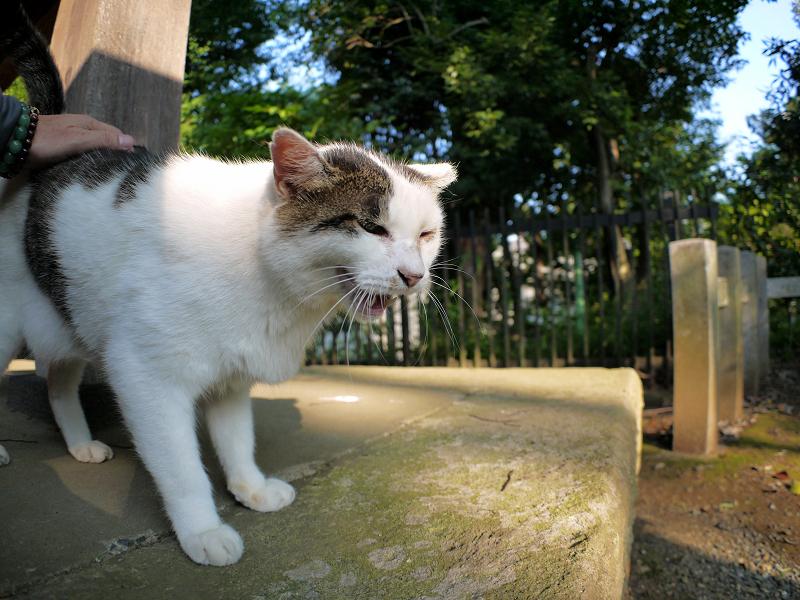 頭から腰まで触られる白キジ猫3