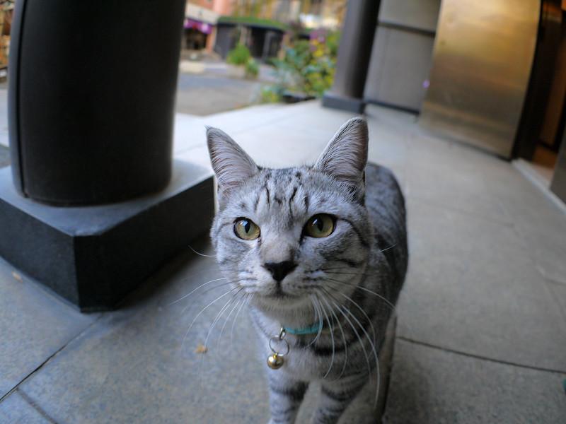 目の前まで寄って来たサバトラ猫1