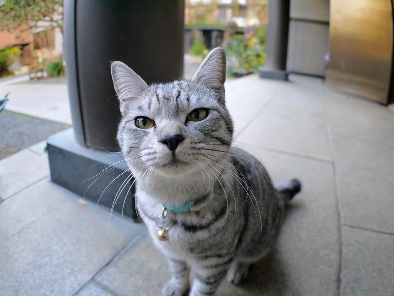 目の前まで寄って来たサバトラ猫2