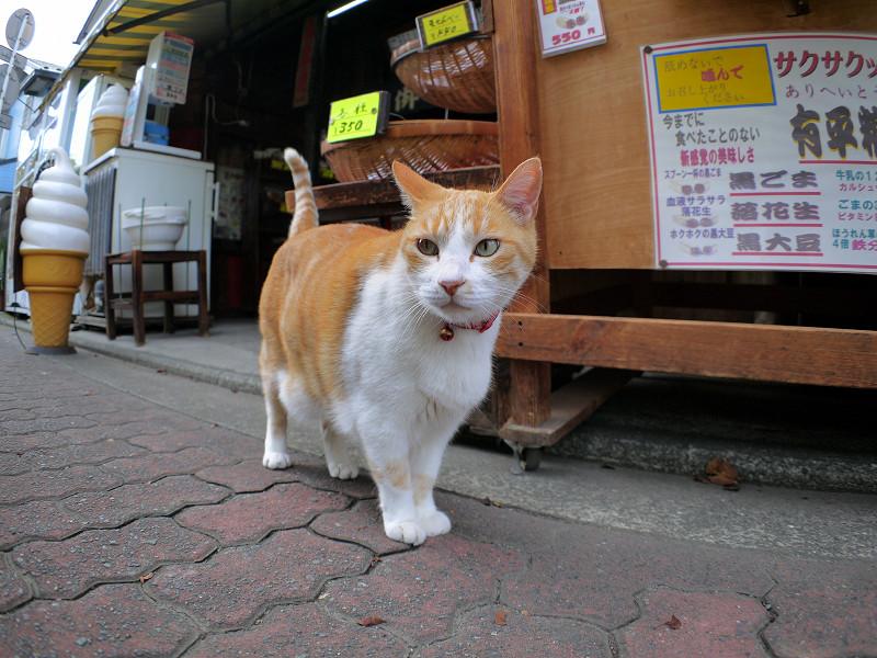 お店から出てきた茶白猫1