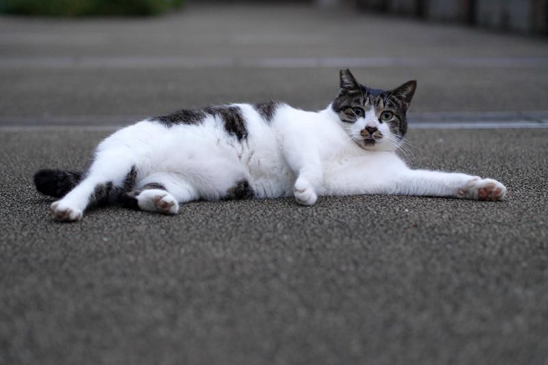 公園で横ばってるキジ白猫1