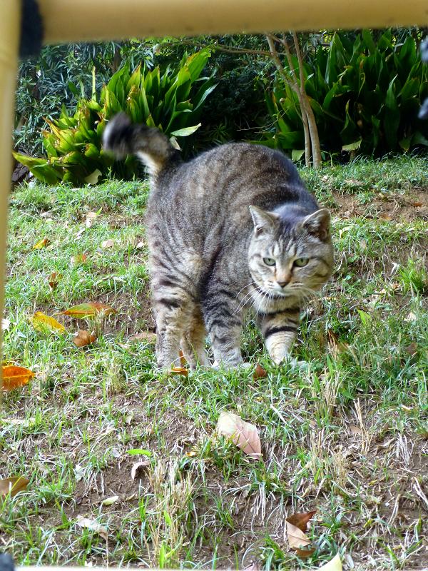 斜面で伸びをするキジトラ猫1