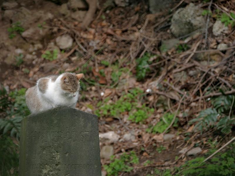 墓標とキジ白猫2