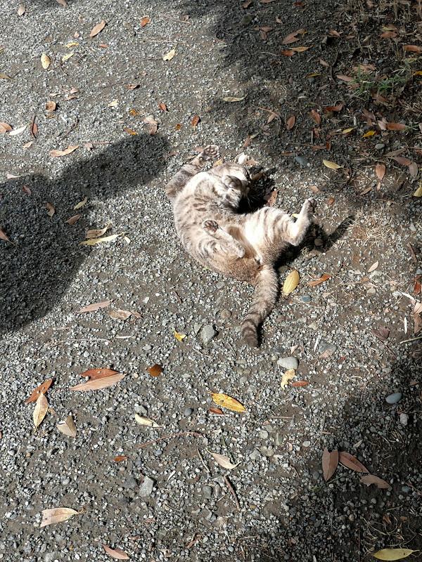 地面で転がるグレー猫2