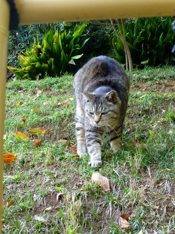 斜面で伸びをするキジトラ猫2