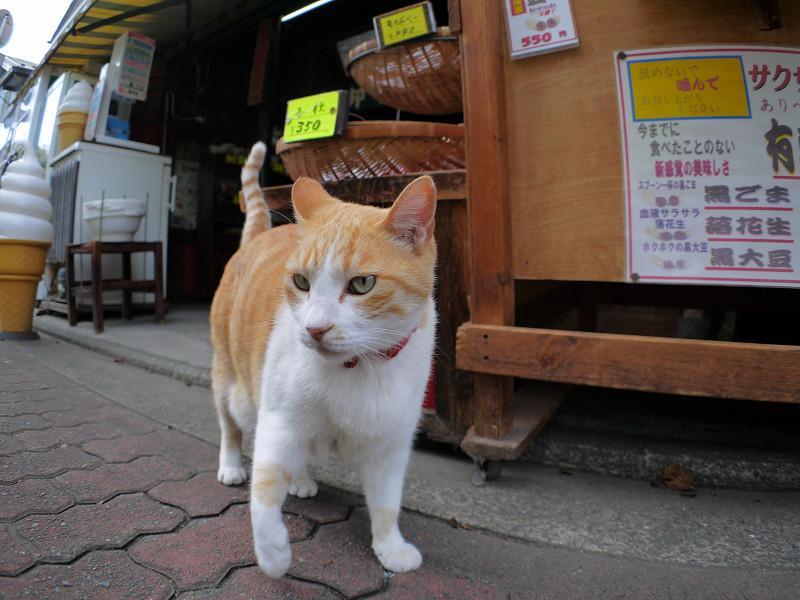 お店から出てきた茶白猫3