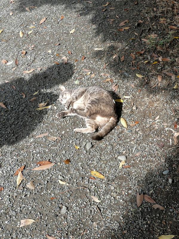 地面で転がるグレー猫3