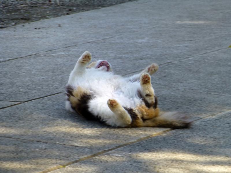 参道のど真ん中で転がってた三毛猫3