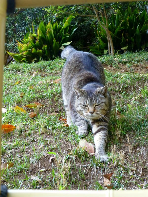 斜面で伸びをするキジトラ猫3