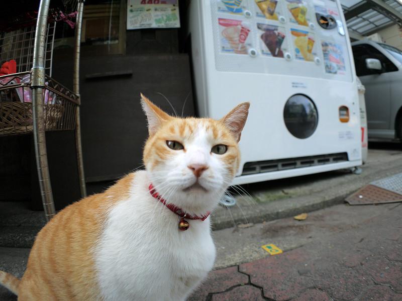 お店から出てきた茶白猫4