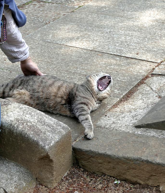 撫でられて大アクビするキジトラ猫4