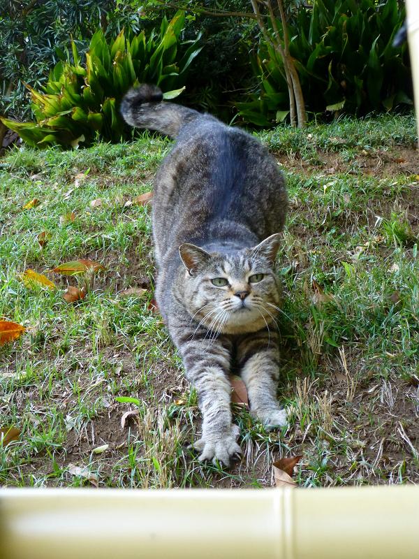 斜面で伸びをするキジトラ猫4