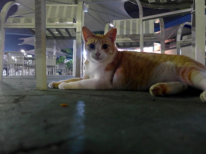 外灯に照らされて茶白猫1