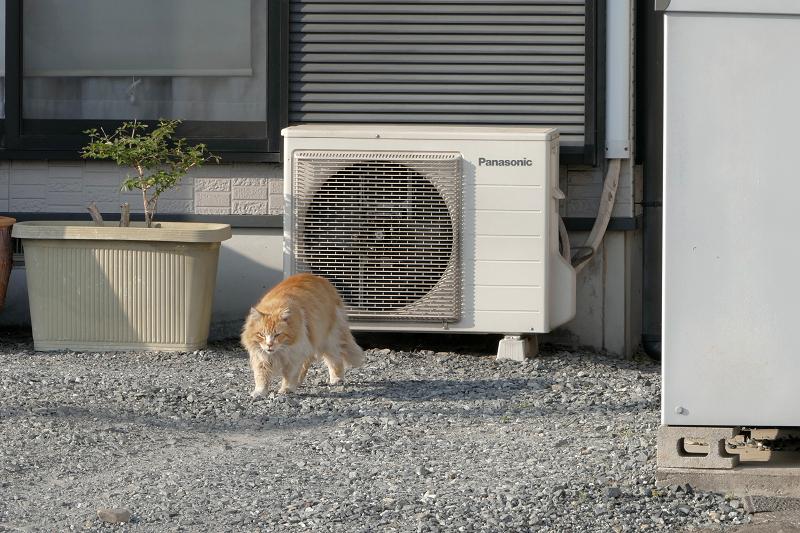 室外機から降りてきた毛長の茶白猫1