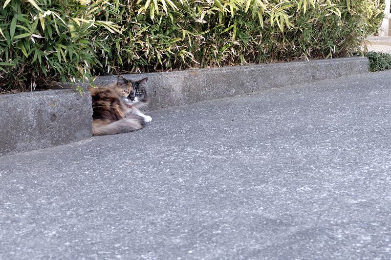 民家の玄関先の毛長の三毛猫1