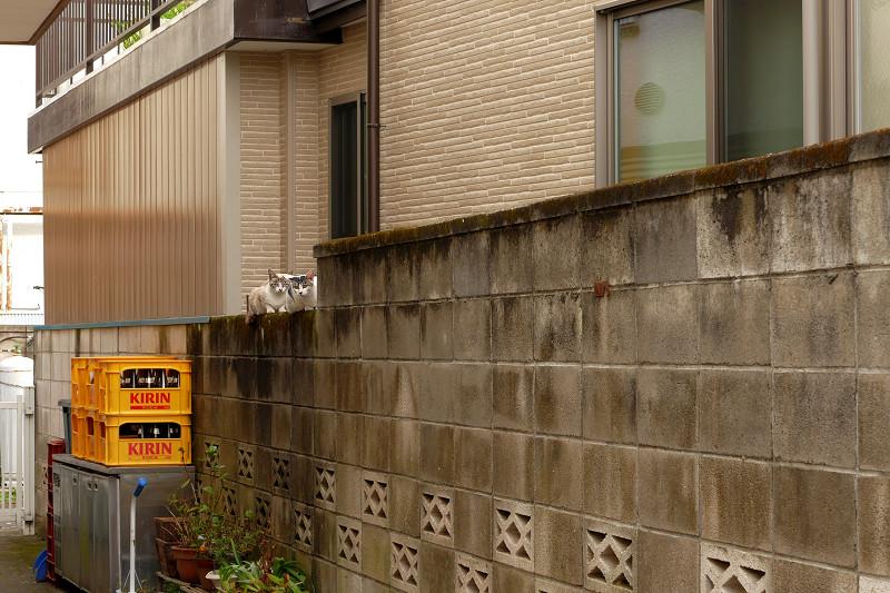 ブロック塀の親子猫1