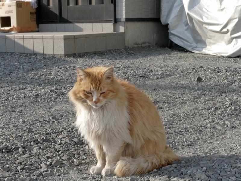 室外機から降りてきた毛長の茶白猫2