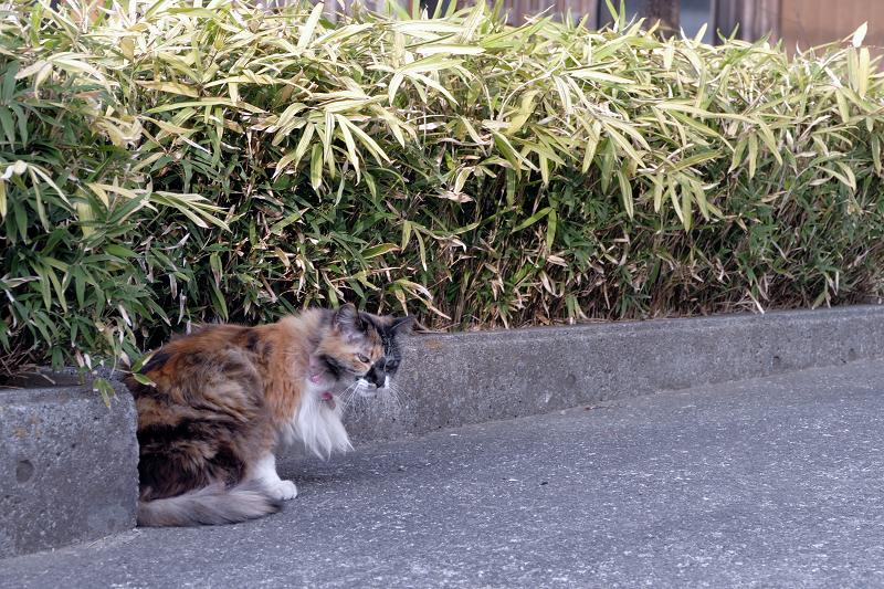 民家の玄関先の毛長の三毛猫2
