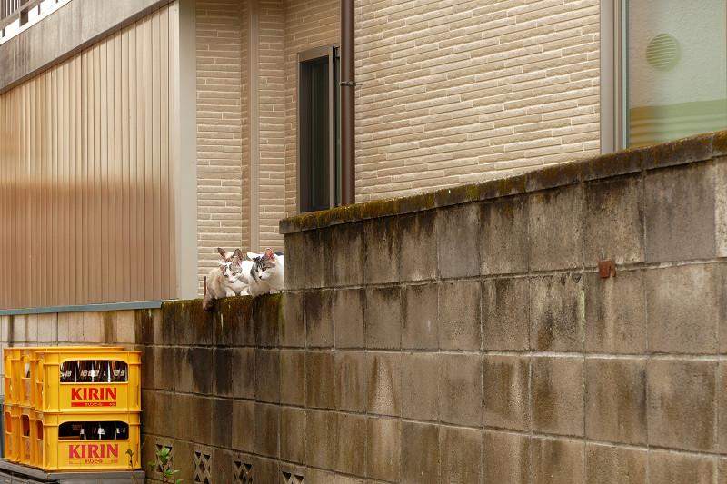 ブロック塀の親子猫2