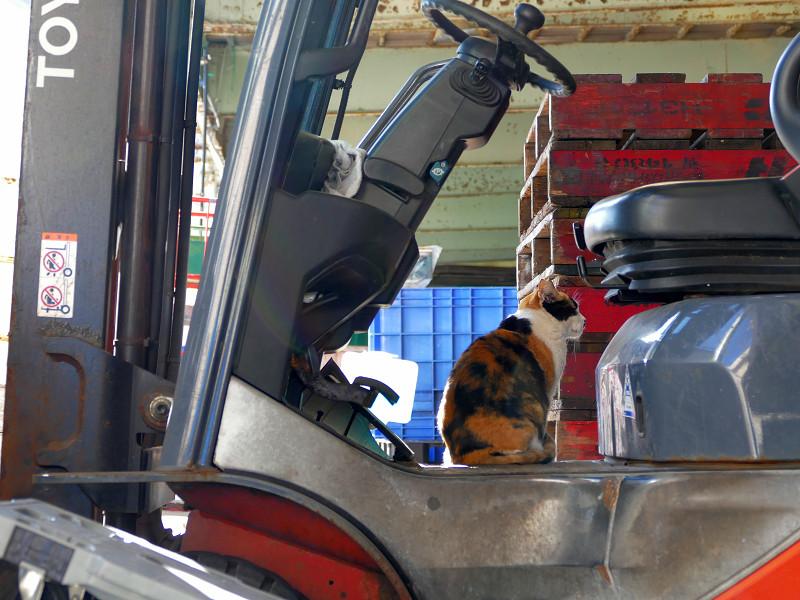 フォークリフトに乗ってる三毛猫2