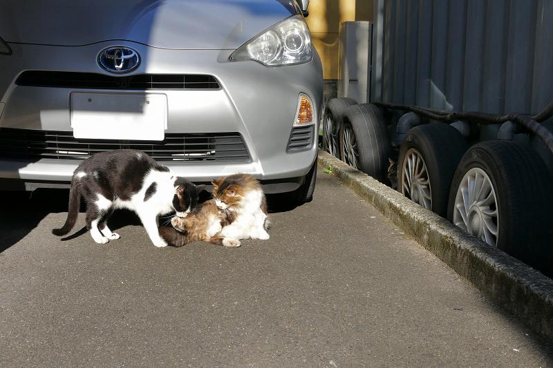 車の前の猫3匹2