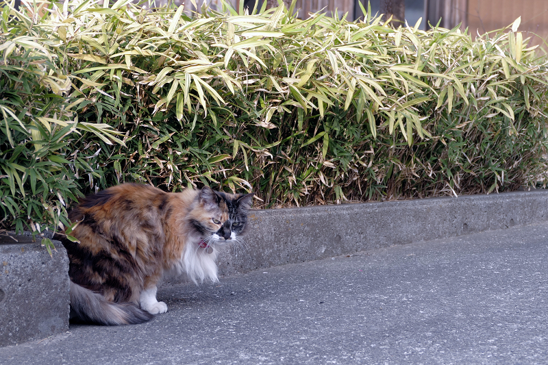 民家の玄関先の毛長の三毛猫3