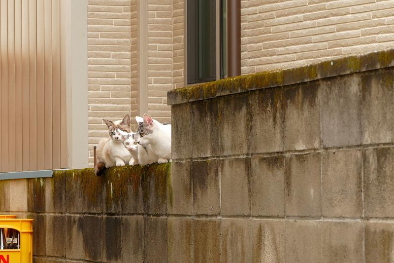 ブロック塀の親子猫3