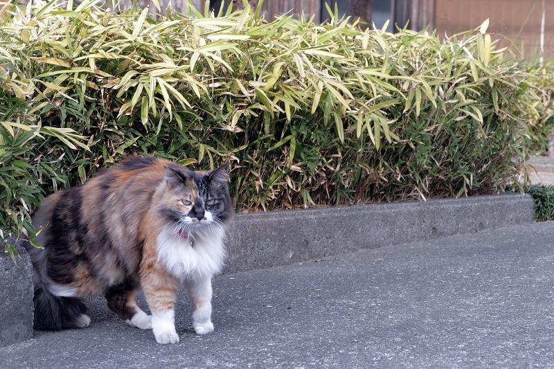 民家の玄関先の毛長の三毛猫4
