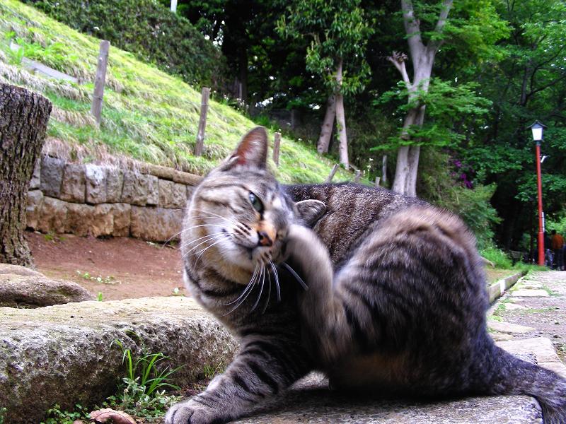 カキカキして寛ぐキジトラ猫1