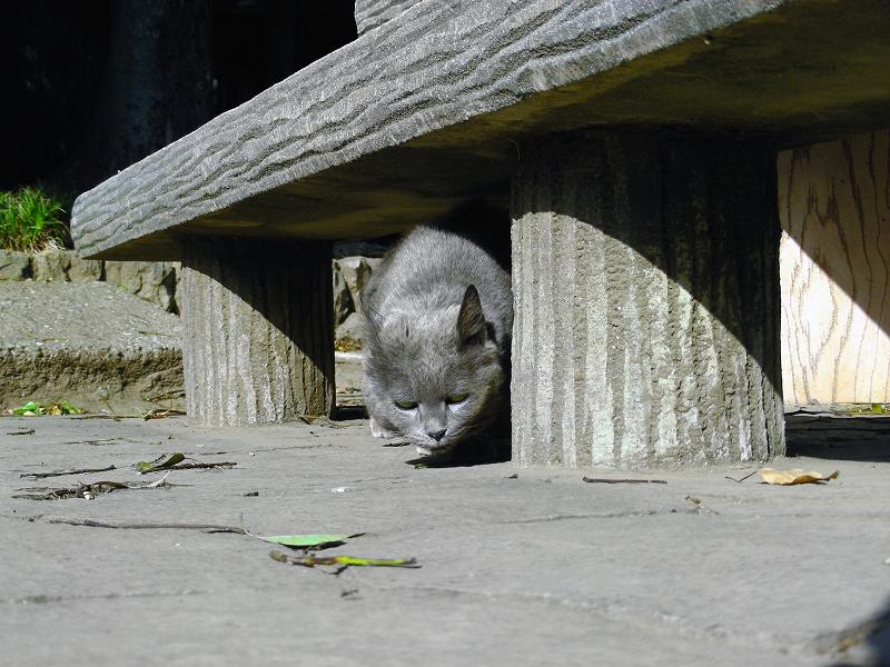 コンクリートベンチ下のグレー猫1