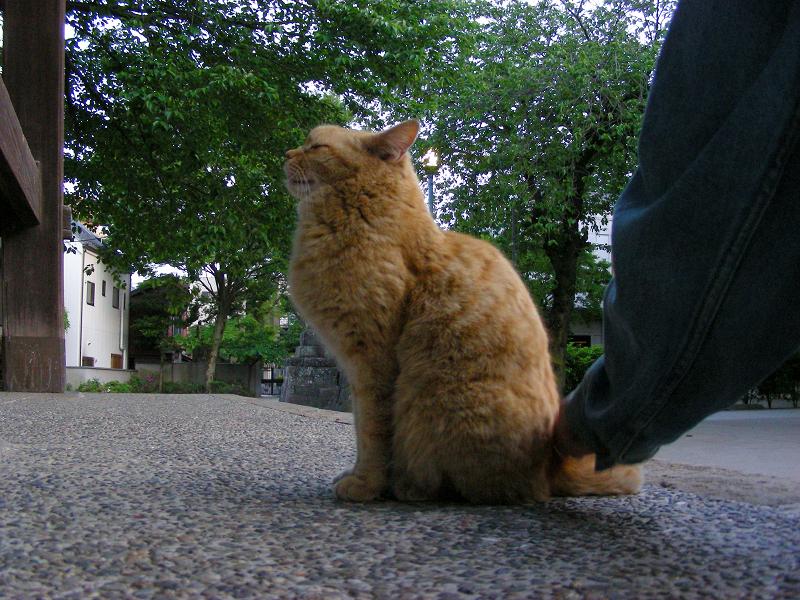 鐘撞き堂の茶トラ猫1