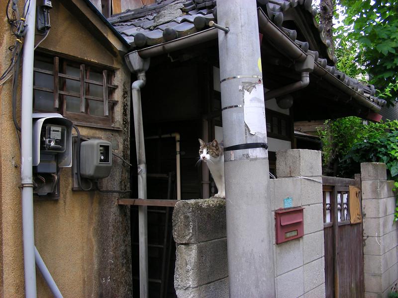玄関ブロック塀のキジ白猫1