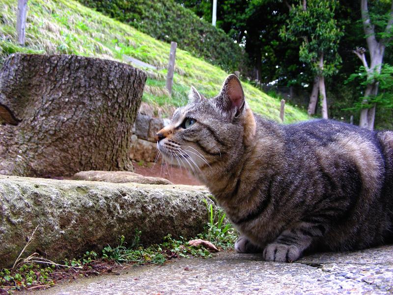 カキカキして寛ぐキジトラ猫2